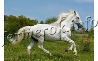 Все о андалузской породе лошадей