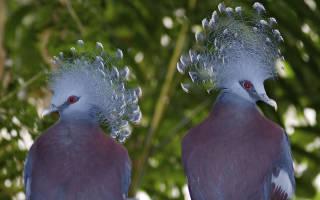 Самые странные голуби мира