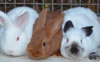 Мясные кролики: самые достойные породы