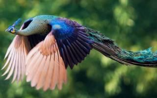 Летают ли павлины, и как они это делают