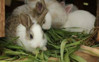 Болезни кроликов: как вылечить кокцидиоз