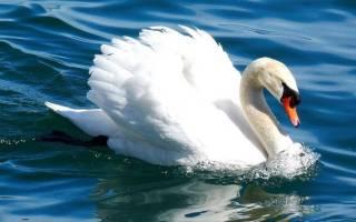 Различные виды (породы) лебедей