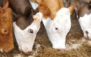 Дойная корова: чем кормить животное