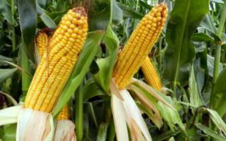 Как правильно собрать урожай кукурузы