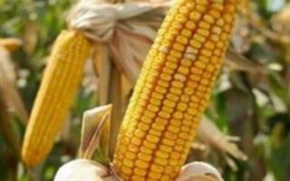 Как обрабатывать кукурузу гербицидами