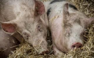 На прикарпатье заметили возбудителя африканской чумы свиней