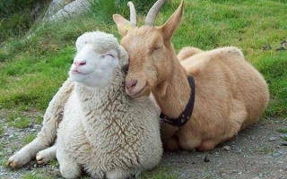 Как вылечить овец и коз от оспы