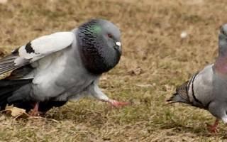 Как узнать пол голубя: различные методы определения