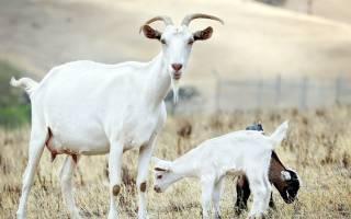 Размножаем свое подворье: особенности окота у коз