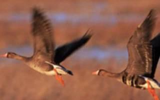 Сколько весят гуси: вес гусей по породам