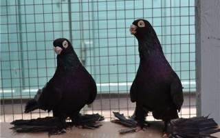 Описание армавирских короткоклювых и белоголовых голубей