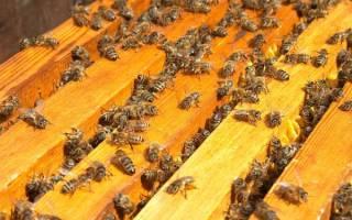 Размножение пчелиной семьи: естественный способ