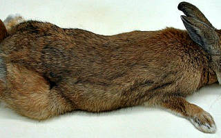 Что такое листериоз и как его лечить у кроликов
