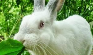 Можно ли кормить кроликов рисом