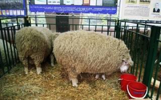 Все самое важное об овцах куйбышевской породы