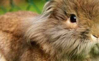Львиноголовый кролик: описание породы, характер, особенности содержания