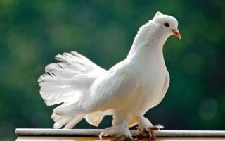 Все о кормлении домашних голубей