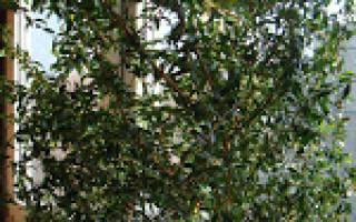 Мирт обыкновенный – вечнозеленый кустарник на вашем подоконнике