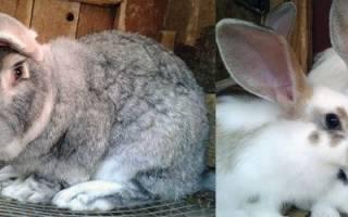 Судороги у кроликов и смерть: почему, что делать