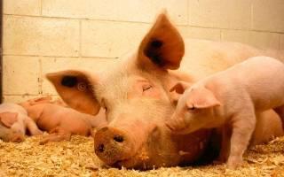 Особенности содержания свиней на глубокой подстилке