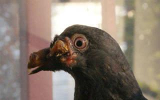 Как и чем лечить оспу у голубей