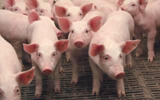Домашнее свиноводство: с чего начать, чтобы добиться высоких результатов?