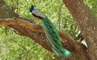Зелёный павлин: как выглядит, где живет, что ест