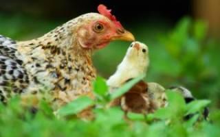 Выгуливаем цыплят правильно: основные правила выгула, безопасности