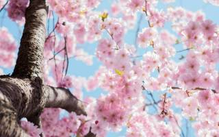 Секреты успешного выращивания сакуры в средней полосе