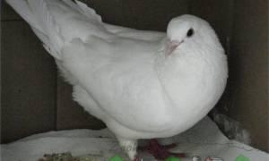Виды самых популярных мясных голубей