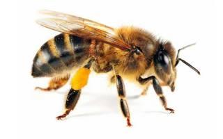 Как устроена медоносная пчела