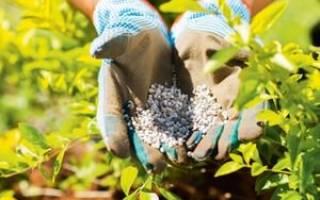 Выращивание голубики садовой: посадка и уход за растением