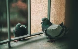Как отпугнуть голубей с балкона и других важных мест