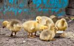 Выращивание гусят в домашних условиях: температура, уход и кормление