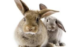 Кролики: сколько лет живут и как правильно определить возраст