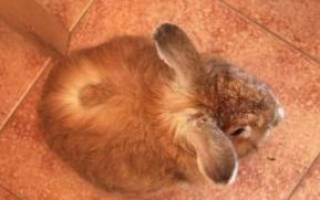 Стригущий лишай у кроликов: чем опасен, как лечить