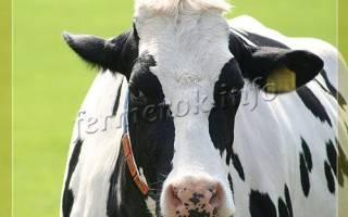 Черно пестрая порода коров