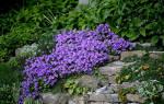 Лобелия: виды и сорта необыкновенного цветка