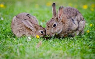 Пододерматит у кроликов: симптомы и лечение, профилактика