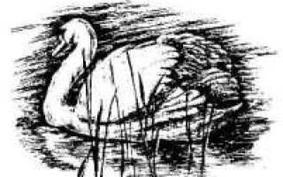 Разведение лебедей в домашних условиях: уход и кормление