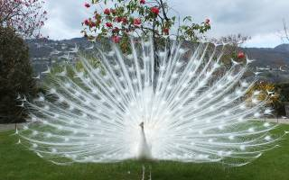 Как выглядит белый павлин